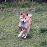 FP023 豆柴里親犬