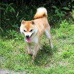 豆柴犬 ヒノキくん