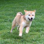 TH001 極小豆柴母犬