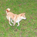 TH009 極小豆柴母犬