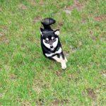 TH011 極小豆柴母犬
