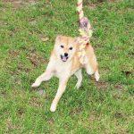 TH012 極小豆柴母犬