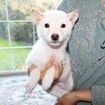 TH014 極小豆柴母犬