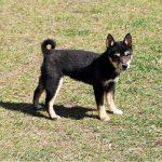 TH020 極小豆柴母犬
