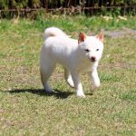 TH021 極小豆柴母犬