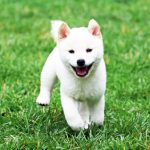 TH023 極小豆柴母犬