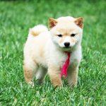 TH024 極小豆柴母犬