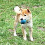 TH026 極小豆柴成犬