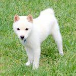 TH41 極小豆柴母犬