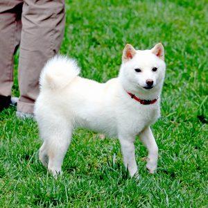 TH42 極小豆柴母犬