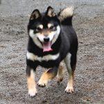 TR05 極小豆柴 訓練犬