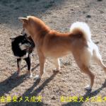 豆柴成犬と普通柴成犬
