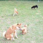 豆柴と極小豆柴の成犬