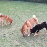 黒豆柴成犬と柴成犬の体格差