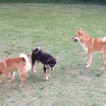 豆柴の成犬