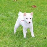 p016 極小豆柴母犬