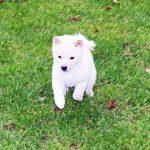 p017 極小豆柴母犬