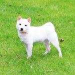p018 極小豆柴母犬
