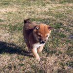 極小豆柴子犬/赤