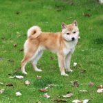 sp019 極小豆柴母犬