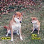 柴犬と豆柴の成犬