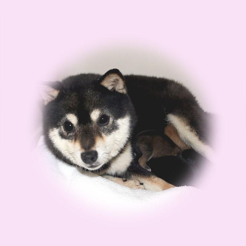 極小豆柴母犬 ミサトちゃん