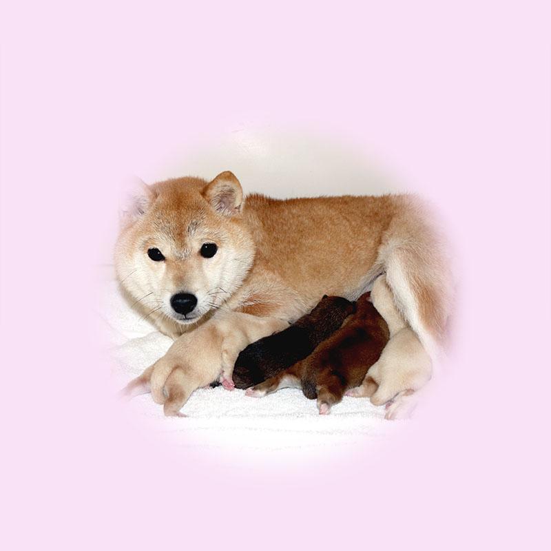 極小豆柴母犬 ツムギちゃん