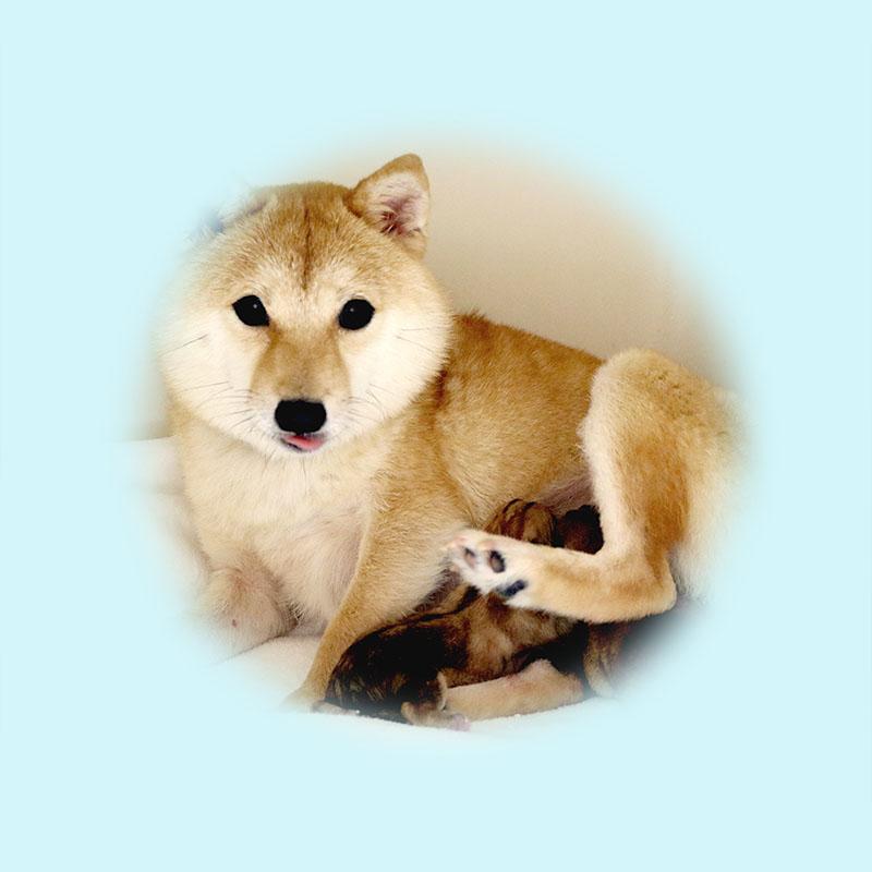 極小豆柴母犬 ユナちゃん