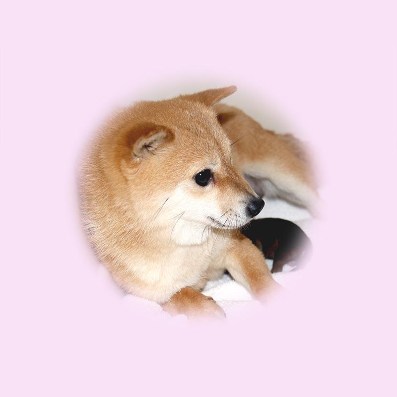 極小豆柴母犬 エリちゃん