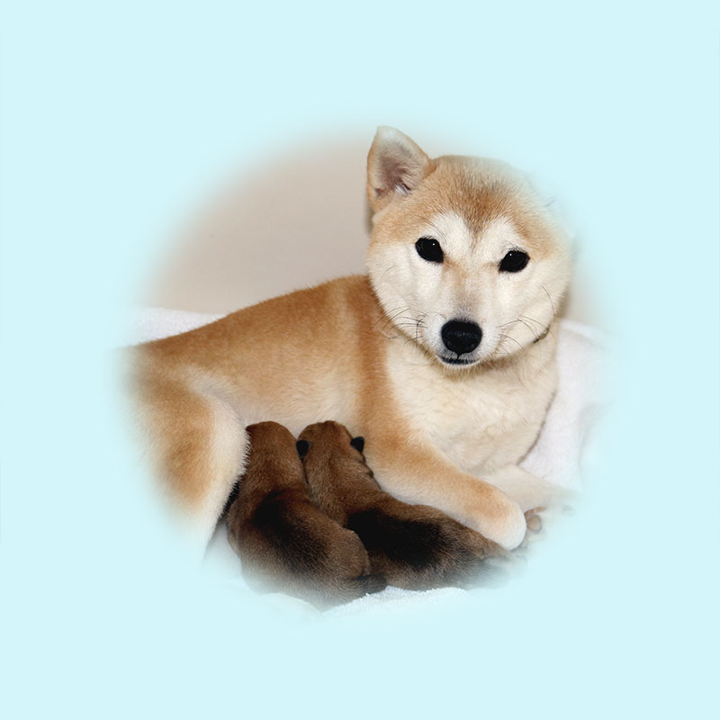 極小豆柴母犬 リコちゃん