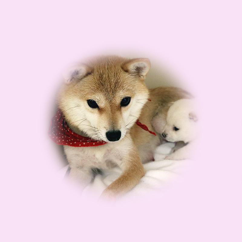 極小豆柴母犬 ココちゃん