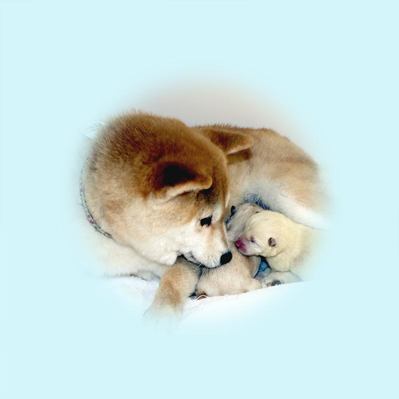極小豆柴母犬 サリーちゃん