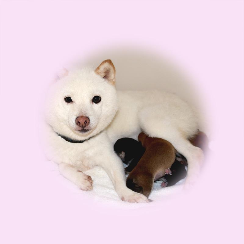 極小豆柴母犬 アロマちゃん