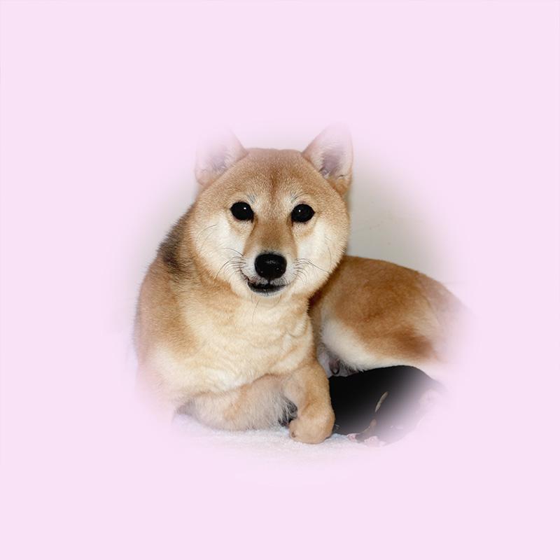 極小豆柴母犬 コロモちゃん