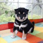 極小豆柴母犬 こまちちゃんの子