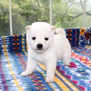 極小豆柴母犬 ベリーちゃんの子