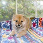 極小豆柴母犬 ツツジちゃんの子b