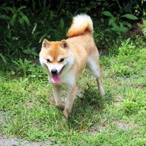豆柴種♂犬 ヒノキくん