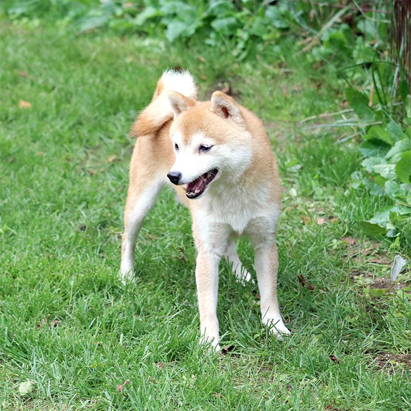 豆柴種♂犬 ソウタくん