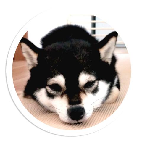 極小豆柴犬 トキちゃん