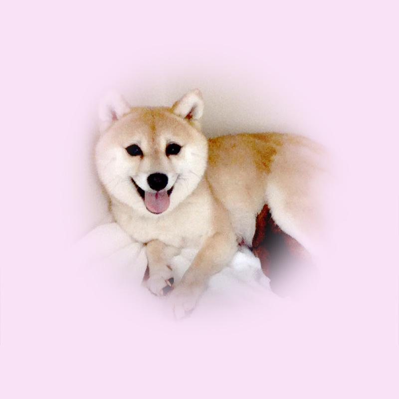 極小豆柴母犬 ユパちゃん