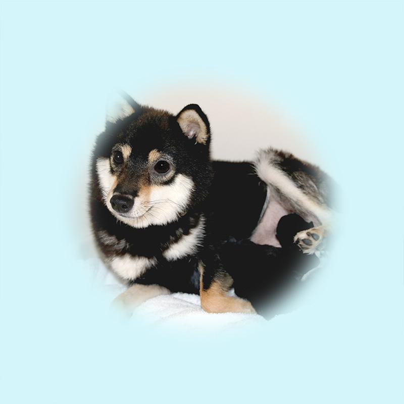 極小豆柴母犬 シラスちゃん