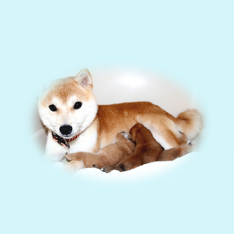 豆柴母犬 ちゃちゃちゃん