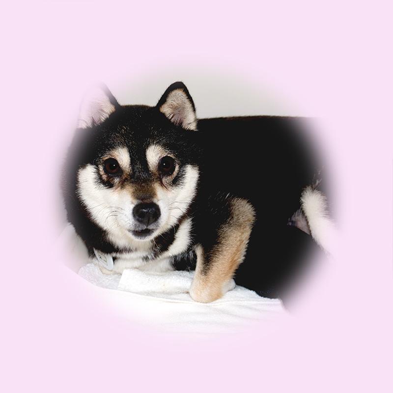 極小豆柴母犬 スーちゃん