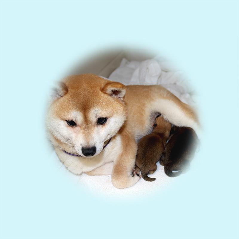 極小豆柴母犬 ツキミちゃん