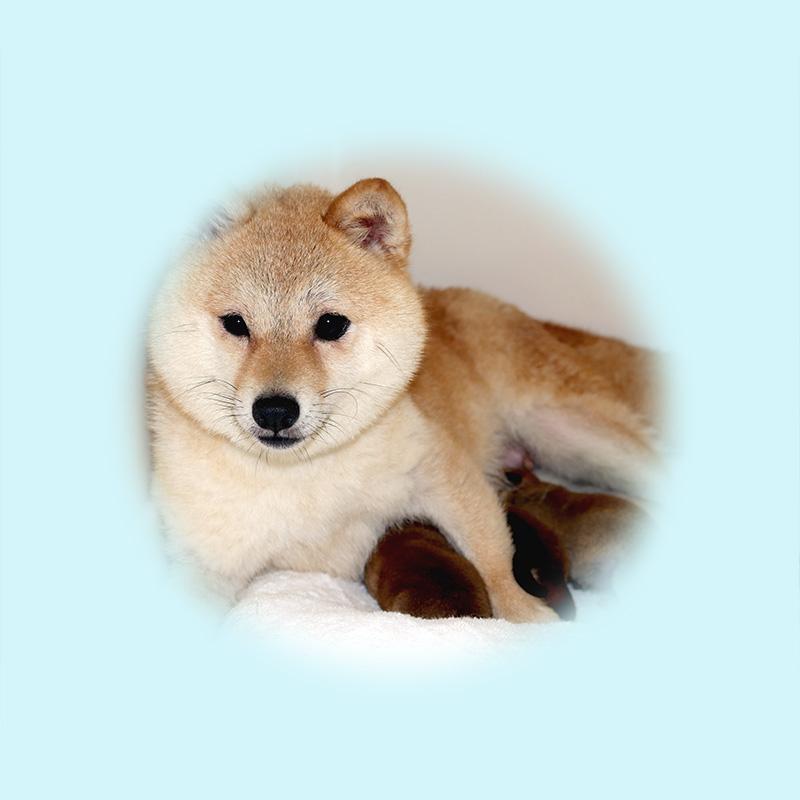 極小豆柴母犬 ツツジちゃん