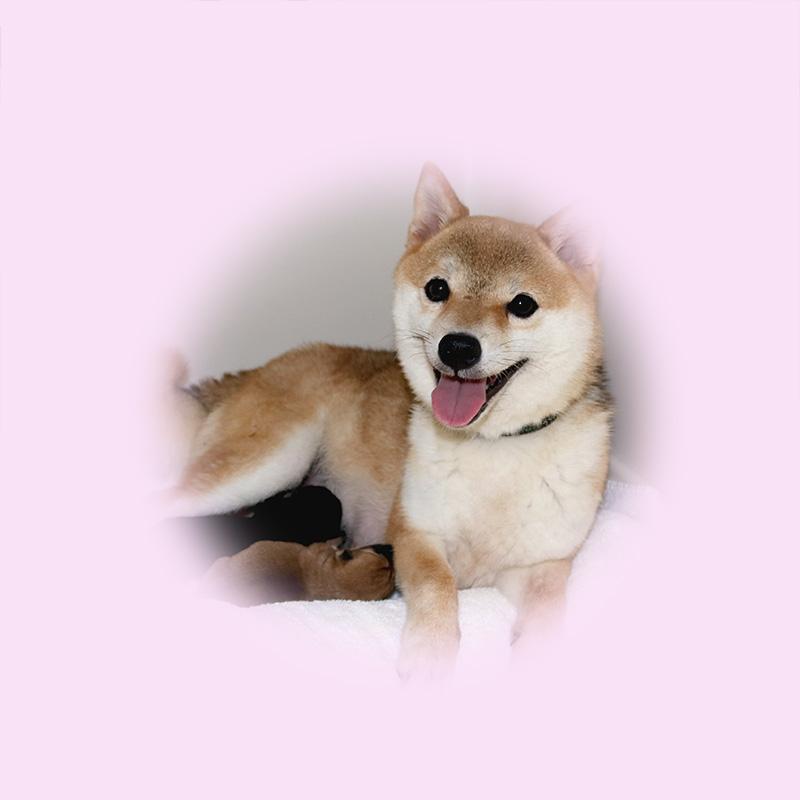 極小豆柴母犬 ハムちゃん