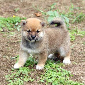 極小豆柴母犬 ポロちゃんの子