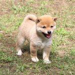 極小豆柴母犬 ぽんずちゃんの子b