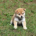 極小豆柴母犬 テトちゃんの子